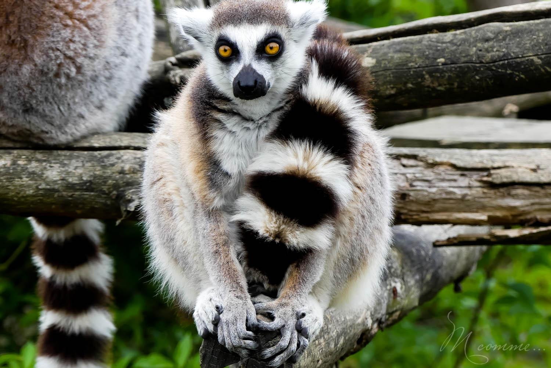 lemuriens zoo la boissiere du dore