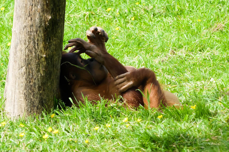 orang outan zoo la boissiere du dore