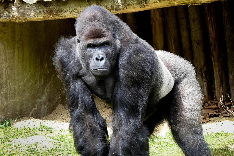 gorille zoo la boissiere du dore