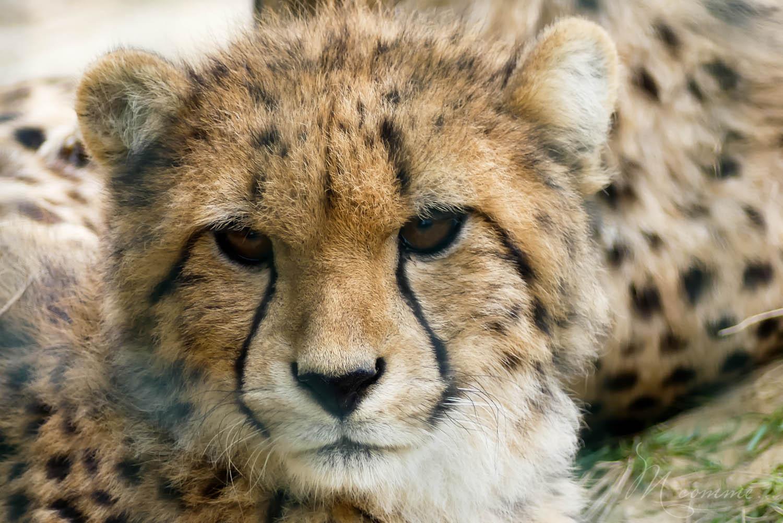 guepard zoo la boissiere du dore