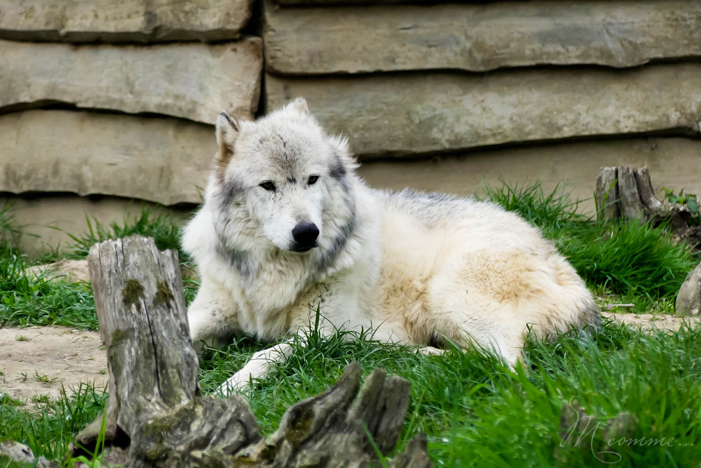loup zoo la boissiere du dore