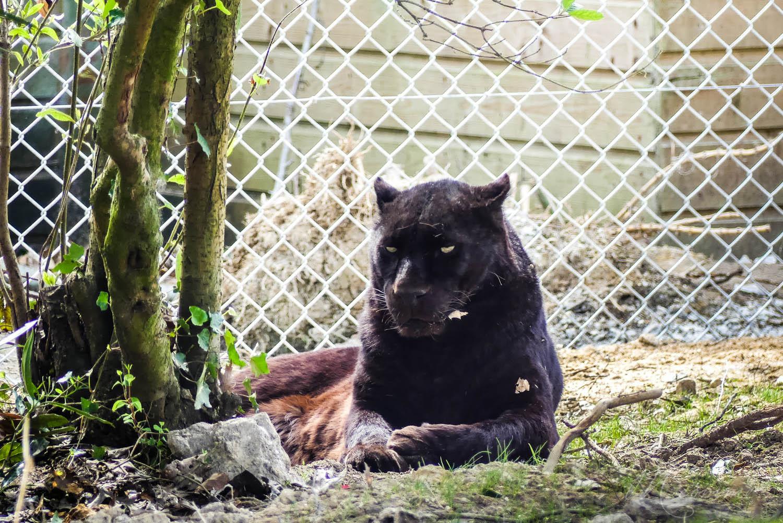 panthere noire zoo la boissiere du dore