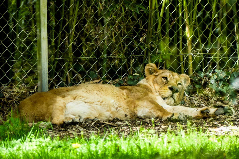 lionne zoo la boissiere du dore