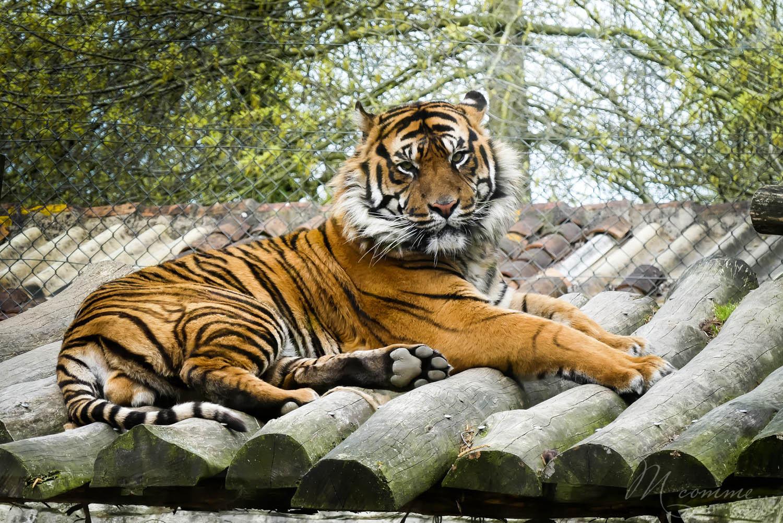tigre zoo la boissiere du dore