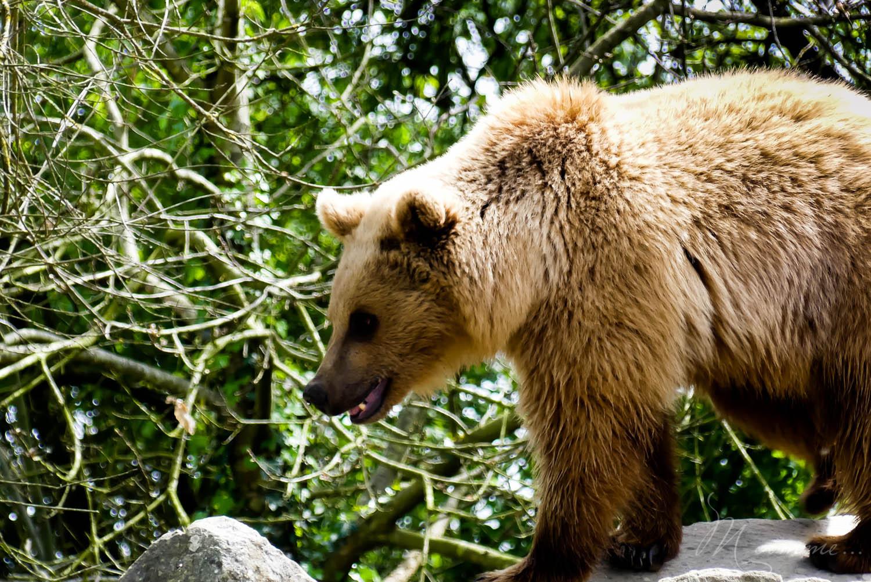 ours zoo la boissiere du dore