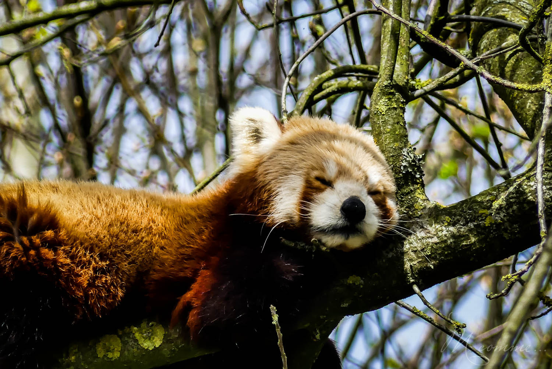 panda roux zoo la boissiere du dore