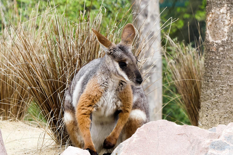 wallaby zoo la boissiere du dore