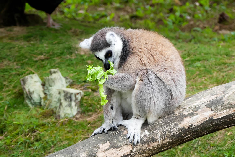nourrissage maki kata zoo la boissiere du dore