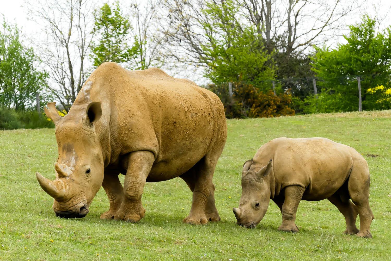 rhinocéros zoo la boissiere du dore