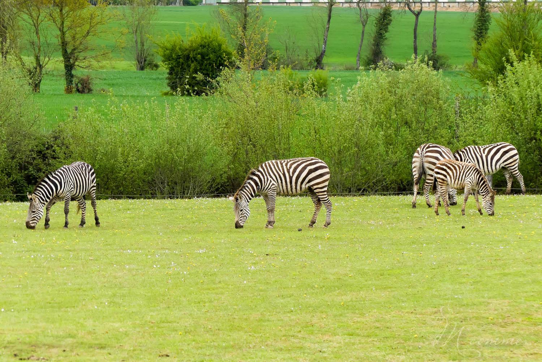 zebres zoo la boissiere du dore