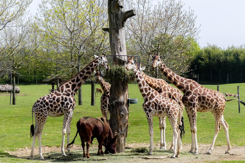 girafes zoo la boissiere du dore
