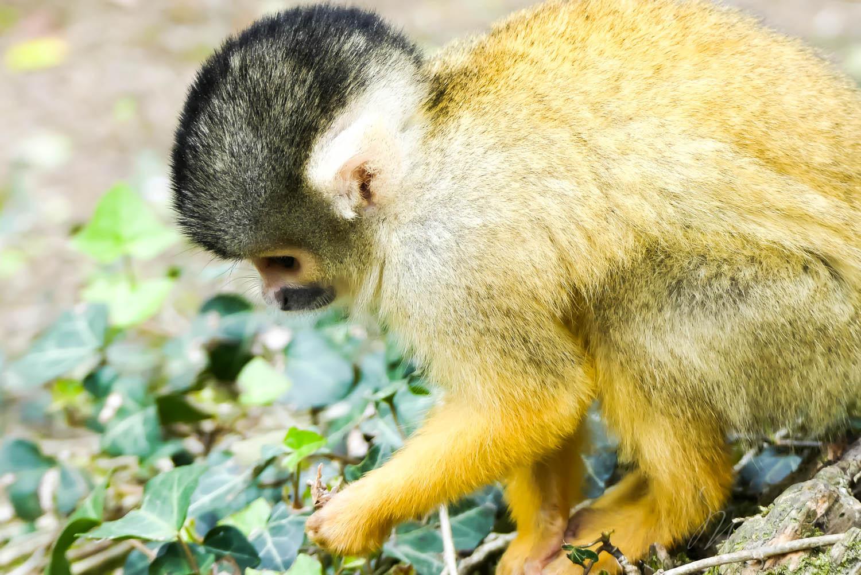 singes zoo la boissiere du dore