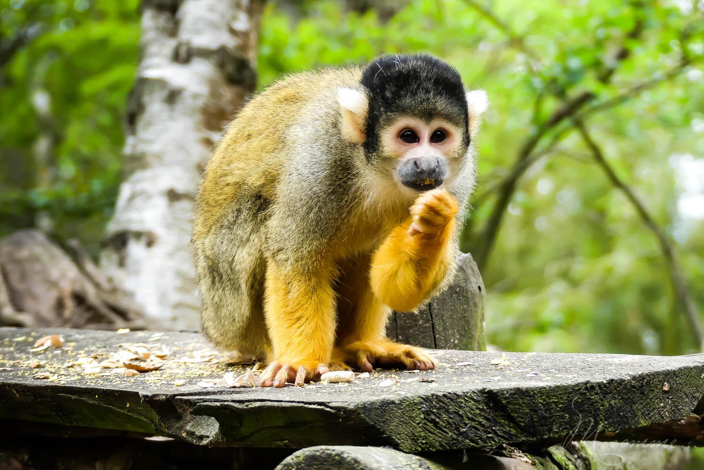 singes semi liberte zoo la boissiere du dore