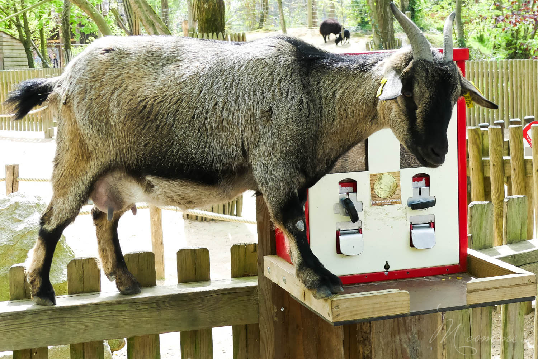 chèvre mini ferme zoo la boissiere du dore