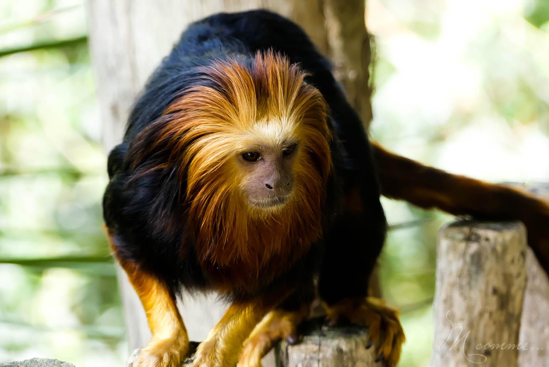 singe zoo la boissiere du dore